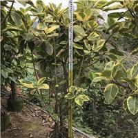 场地直销优质景观绿化树丛生富贵榕规格齐全厂