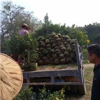 常年大量供应行道种植景观苗木黄花双荚槐