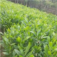 批发供应四季常青园林地被植物大叶相思