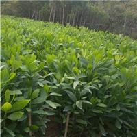 批发供应四季常青园林地被植物大叶相思厂