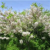 丛生的文冠果树 ,盆栽文冠果