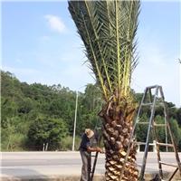 大量特价供应大型热带风景树加拿利海枣