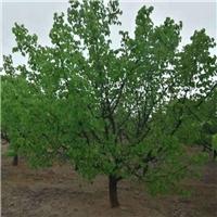 陕西山杏树求购信息组图解决生产问题