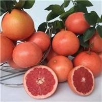 南非红西柚苗 葡萄柚苗 红宝石葡萄柚苗