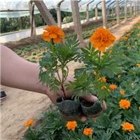山东青州孔雀草种植批发基地