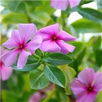 开花好的双色盆长春花性价比高