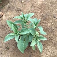 全国优质鼠尾草供应基地在山东春泥园艺