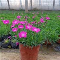 青州草花地被植物种植基地供应欧石竹
