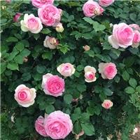成都供应蔷薇 各规格蔷薇大型苗圃基地报价