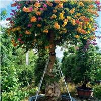 优质品种三角梅高度3米摆布的多花三角梅