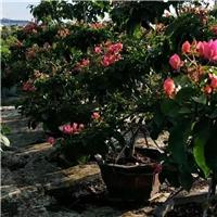 优质品种三角梅高度3米左右的多花三角梅