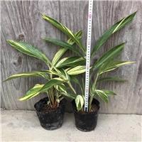 福建三明市棕竹种苗批发大量瓶子棕竹