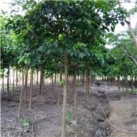 优质品种绿化苗秋枫大量品种苗秋枫合理销售厂