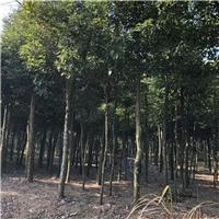 精品绿化苗木天竺桂天竺桂大量批发品种多样