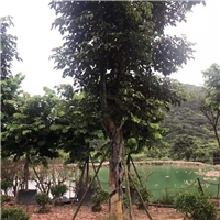 骨架香樟较新报价漳州骨架香樟农户自家种植