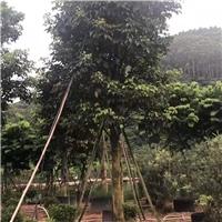 骨架香樟较新报价漳州骨架香樟农户自家种植厂