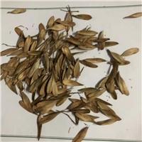 今年新�� 水曲柳种子 低温沉积处理