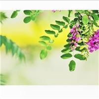紫穗槐种子厂家直销批发价格