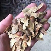 当年现货 五角枫种子 批发