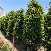 福建福清出售新品品种垂叶榕垂叶榕价格合理