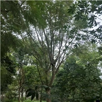 2019年江西赣州哪里有种植精品绿化苗蓝花楹厂