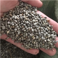 春季播种育苗红瑞木种子保真保新出芽率高