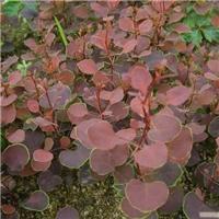 辽宁省紫叶小檗种子东北紫叶小檗种子厂