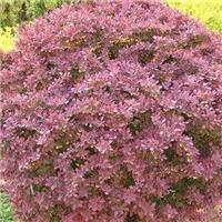 今年新�� 紫叶小檗种子 厂家直销价格
