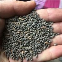 供应 云杉种子 品种纯正 发芽率高