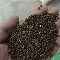 今年新洗 沙棘种子 饱满度好 生长速度快厂