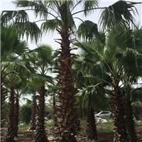 绿化园林工程苗老人葵出售厂