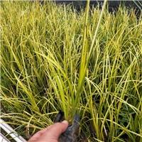 福建福州出售精品新品绿化苗木金叶石菖蒲
