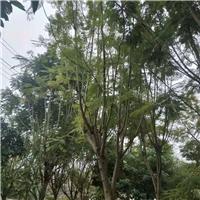 江西赣州供应现货货源充足蓝花楹绿化树