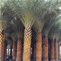 中东海枣绿化苗木河南哪里有大量供应