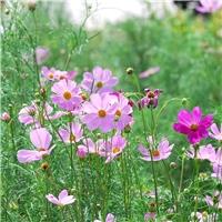今年新�� 波斯菊种子 当年新种 质量保证