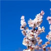 沙藏催芽 榆叶梅种子 裂口见芽