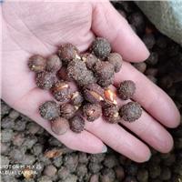 沙藏催芽 榆叶梅种子 裂口见芽厂