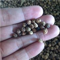 供应 山桃稠李种子 冬季沙藏处理 裂口见芽