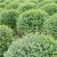 供应 水腊种子 水蜡种子 多少钱一斤厂