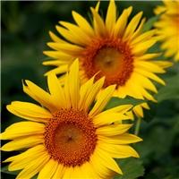 供应 观赏向日葵种子  批发 观赏向日葵树籽厂