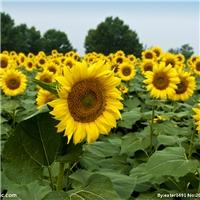供应 观赏向日葵种子  批发 观赏向日葵树籽