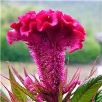 供应 鸡冠花种子 颜色鲜艳 品种纯正厂