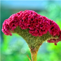 供应 鸡冠花种子 颜色鲜艳 品种纯正