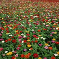 供应 百日草种子 净度好 百日菊种子 芽率高厂
