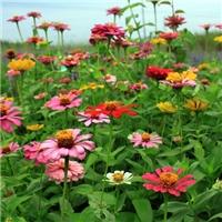 供应 百日草种子 净度好 百日菊种子 芽率高
