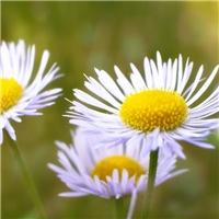 本年新採 雏菊种子 发芽率高