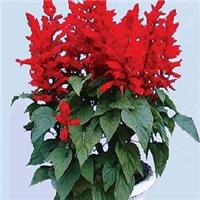 今年新�� 串红种子 发芽率高厂