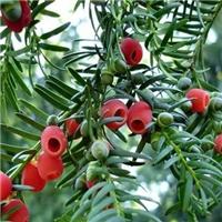 辽宁省红豆杉种子东北红豆杉种子