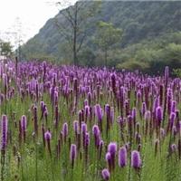 辽宁省蛇鞭菊种子东北蛇鞭菊种子