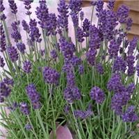 供应 薰衣草种子 蓝紫色花海品种厂